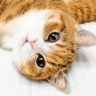 悉尼大脸猫